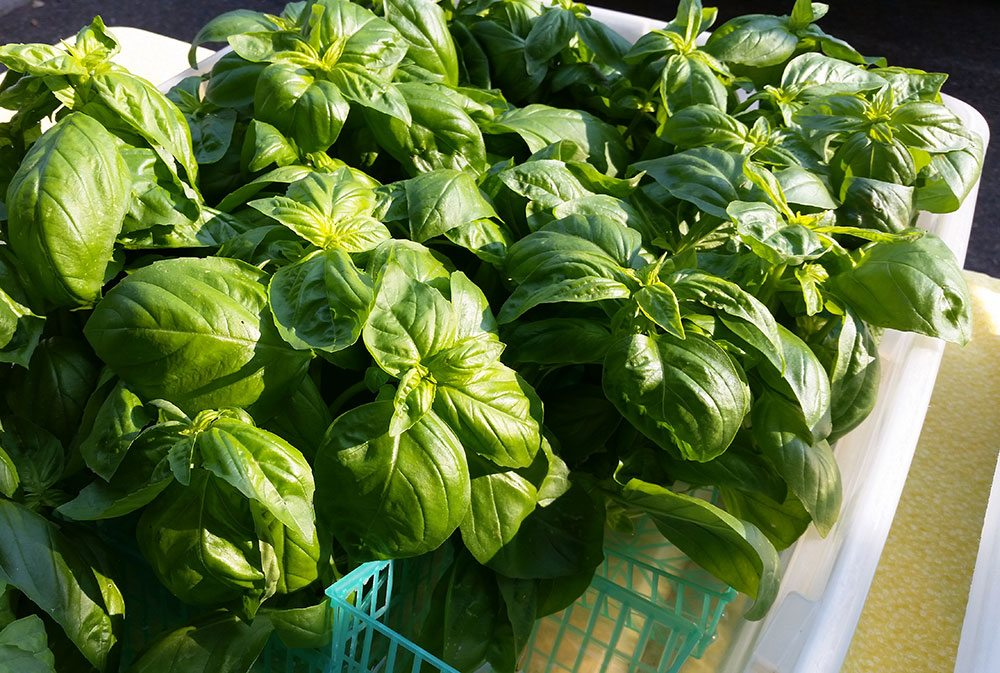 Fresh Farmer's Market Basil - #epicurious #outofthekitchen